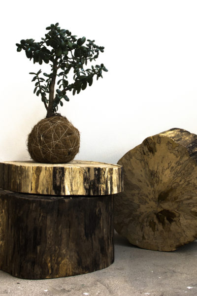 Kæmpe kokedama pengetræ